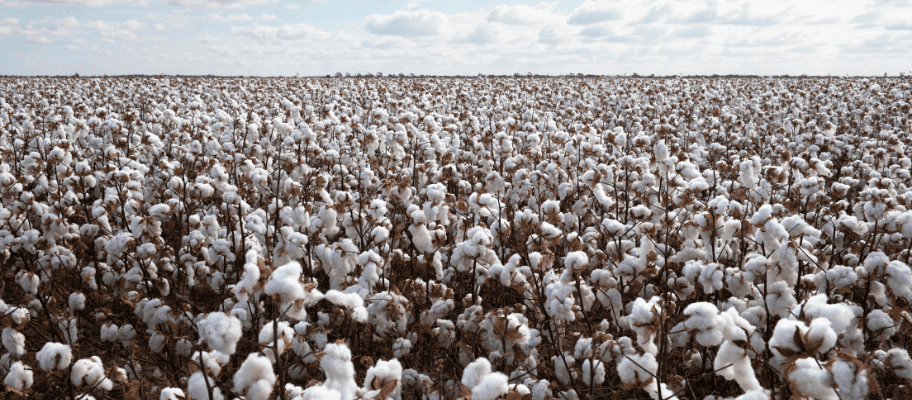 The Ultimate Guide To Cotton Fabric Manufacturing: Part 1 - The Harvesting & Cleaning Process